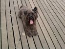 photo chien cairn terrier