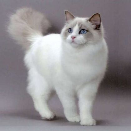Le ragdoll - Top 10 des races de chats les plus adaptées à