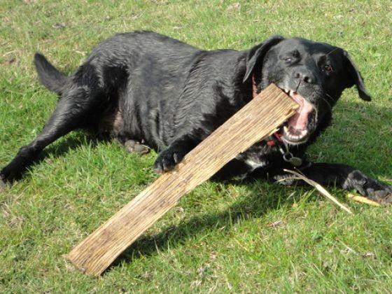 labrador chien sportif