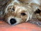 photo chien terrier