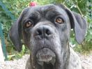 photo chien cane corso