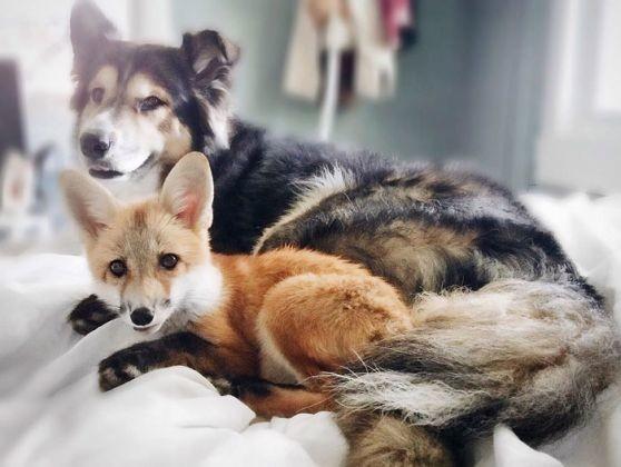 Juniper fox Moose dog