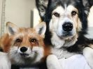 Juniper fox Moose dog