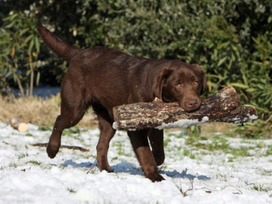 labrador chien puissant
