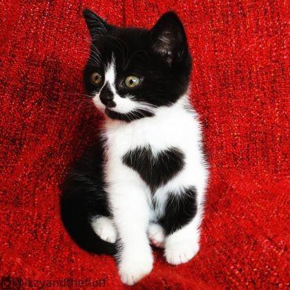 chaton pelage coeur