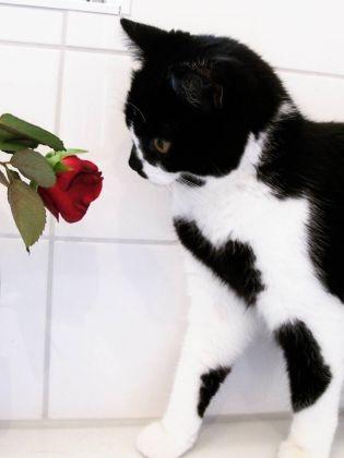 chat pelage cœur rose