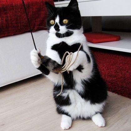 chat pelage cœur souris