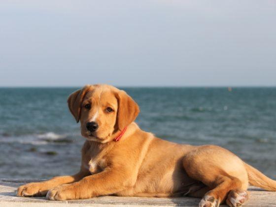 labrador chien préféré des français