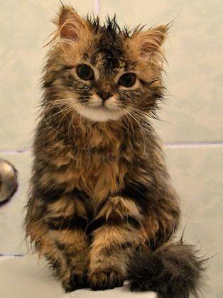 Chat qui sort du bain