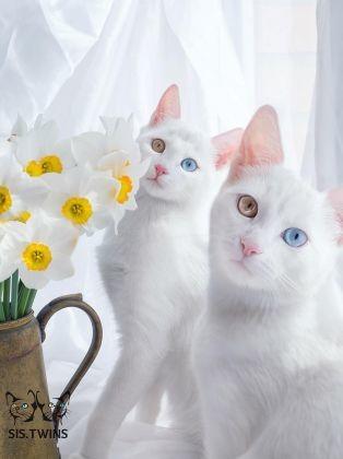 chattes jumelles