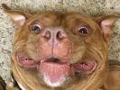 Meaty le pitbull heureux