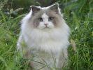 Aurora, le chat ragdoll qui se prend pour une princesse