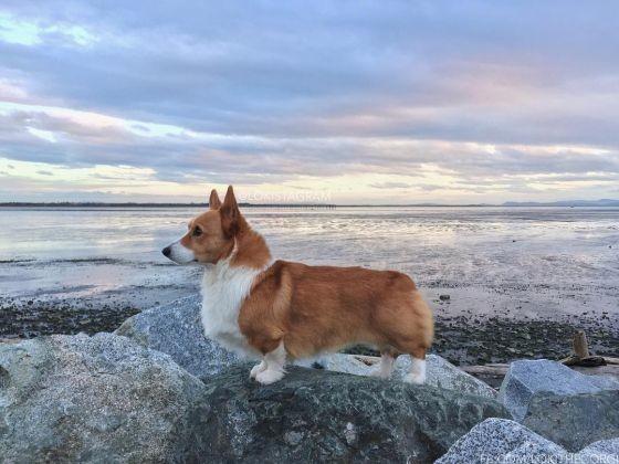 Loki, le Corgi star d'Instagram