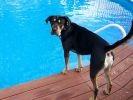 Tobie le chien croisé Rottweiler et Shar Pei