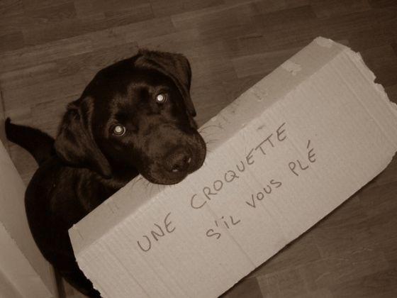 labador chien gourmand
