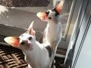 chat oriental Dobby