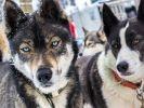 Les Huskys ne sont pas les seuls chiens de traîneaux
