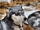 Ces chiens ne craignent pas le froid