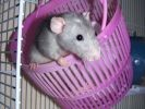 photo de rat gris