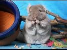 photo chinchilla rongeur grignotte