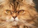 Un magnifique chat British Longhair