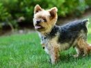 16. Yorkshire terrier