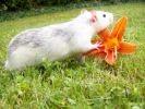 photo rat fleur