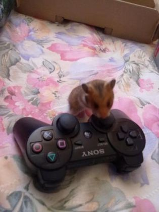photo de hamster manette playstation