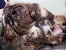 photo chien croûte poils