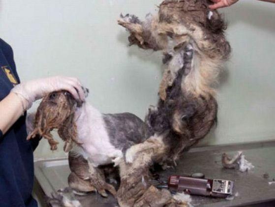 photo chien toilettage extrême