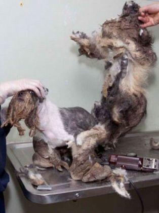 photo chien transformation shih tzu