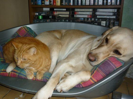 labrador chien sociable