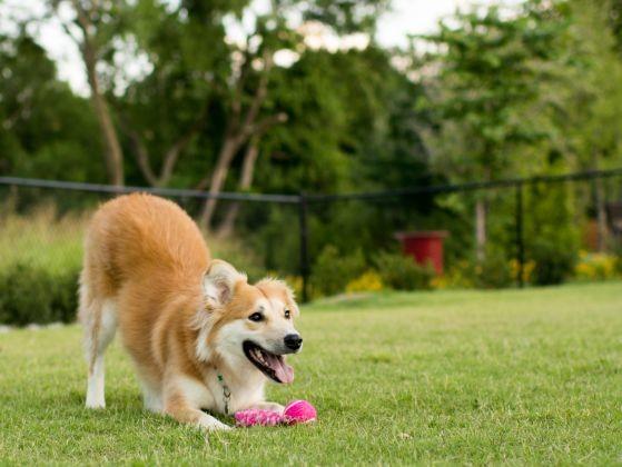 chien joueur