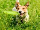 chien joue frisbee