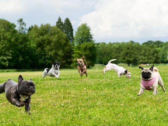plusieurs chiens jouent
