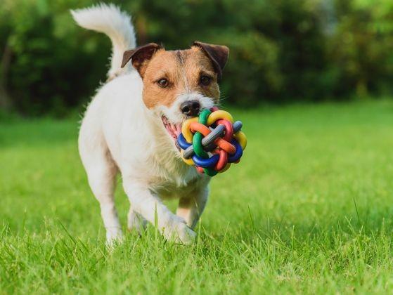 chien jouet jack russell