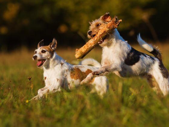 chiens jouent bâton