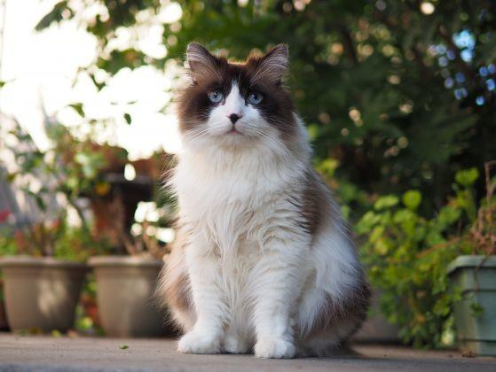 chat ragdoll tache nez