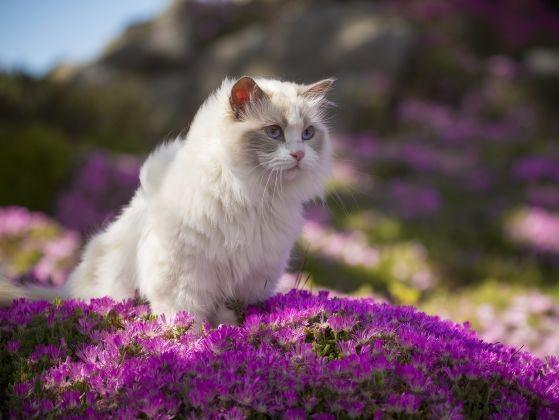 ragdoll blanc nature fleurs