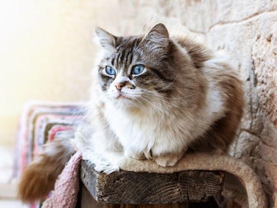 ragdoll yeux bleus magnifiques