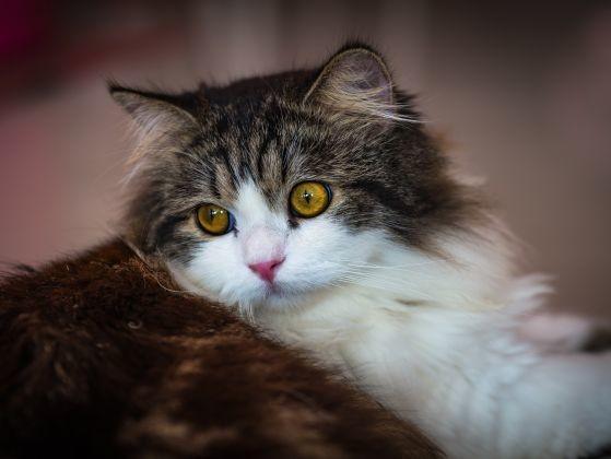 ragdoll fatigué yeux jaunes