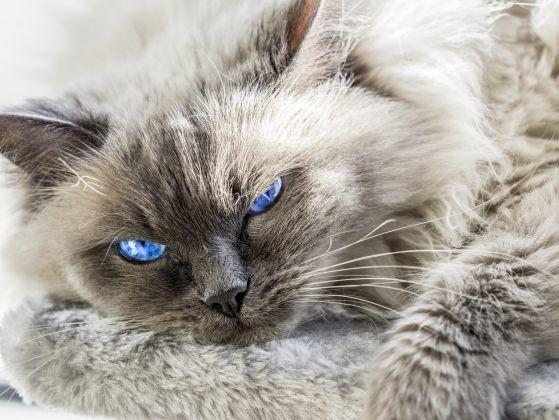 ragdoll yeux bleus superbes