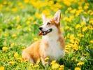 corgi chien printemps fleurs