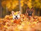 chiens jouent feuilles automne
