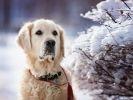 Golden retriever chien hiver