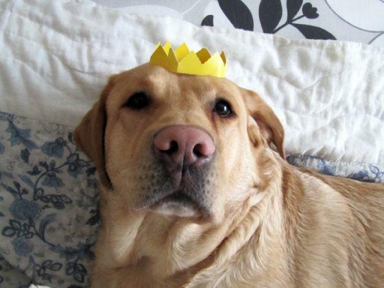 chien labrador discret