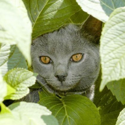 chartreux yeux dorés