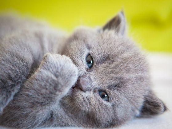 chaton chartreux adorable