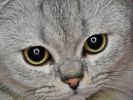 british shorthair yeux