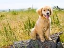 chiot golden retriever mannequin